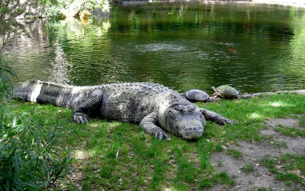 alligatoren-krokodile-florida-1