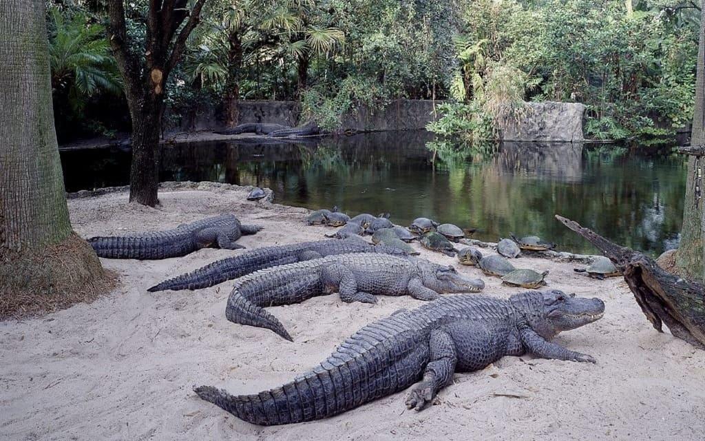 alligatoren-krokodile-florida-2