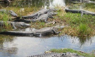 Alligatoren und Krokodile