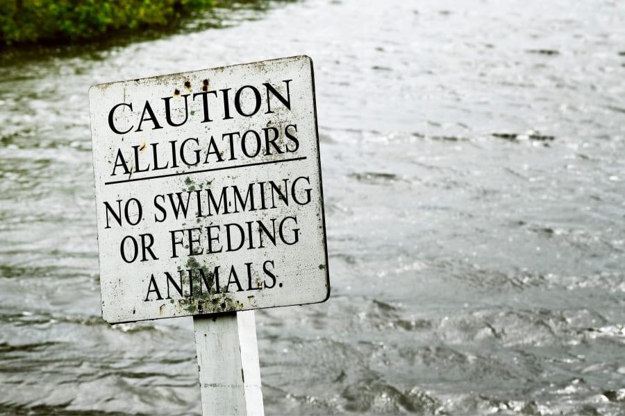 Alligatoren und Krokodile in Florida USA