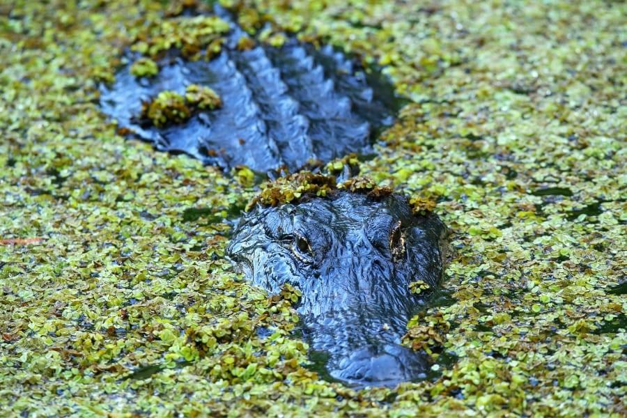 Corkscrew Swamp Sanctuary in Naples Florida Alligator