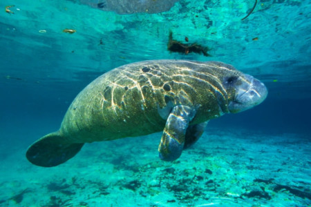 Manatees schwimmen in Florida