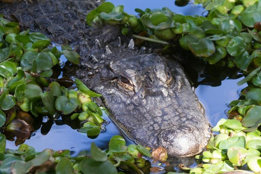 Tiere in Florida Alligatoren Urlaub in Florida