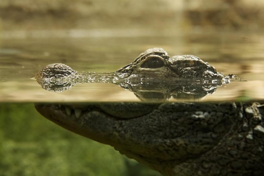 Tiere in Florida Krokodile Urlaub in Florida