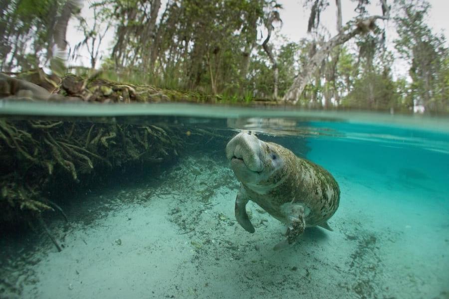 Tiere in Florida Manatees Urlaub in Florida