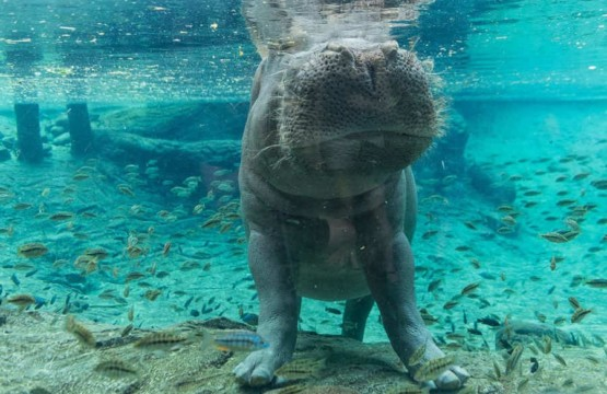 tampa-lowry-park-zoo-hippo (2)